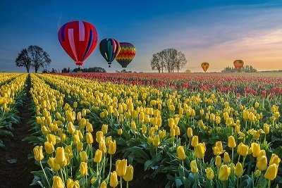 Hot air balloons hovering over tulips